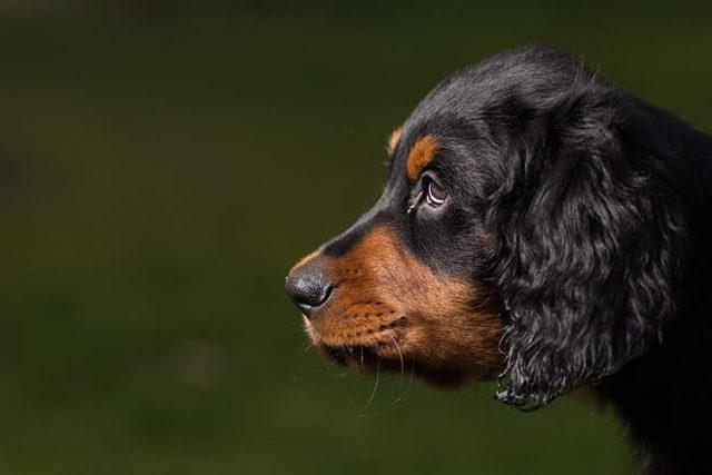 Шотландский гордон сеттер: описание породы, характер, фото