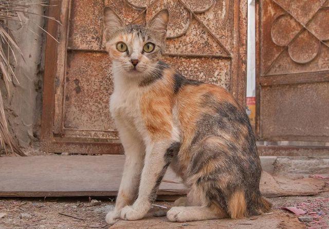 Аравийский (арабский) мау: описание породы, 15 фото, цена