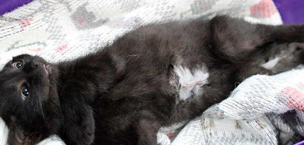 Грыжа у котенка, кошки и кота: причины, виды и лечение
