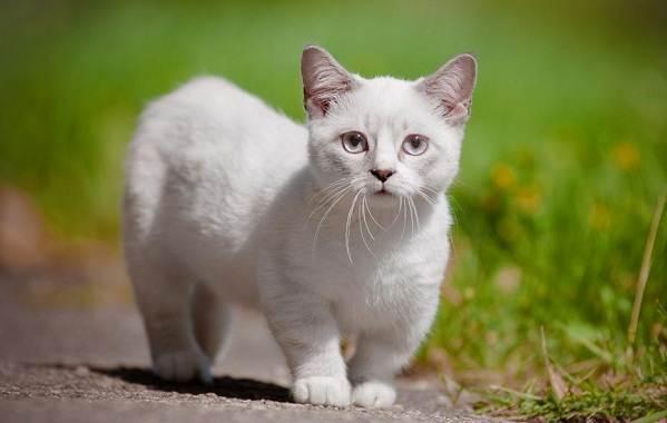 Манчкин: порода коротколапых кошек, 19 фото, цена