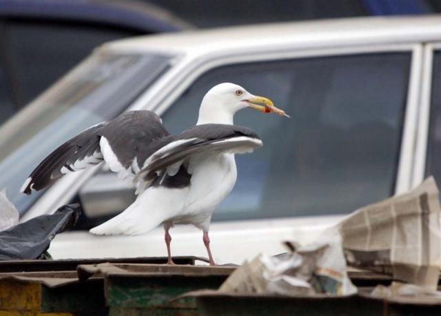 Хохотунья: как чайки превратились в городских хулиганов