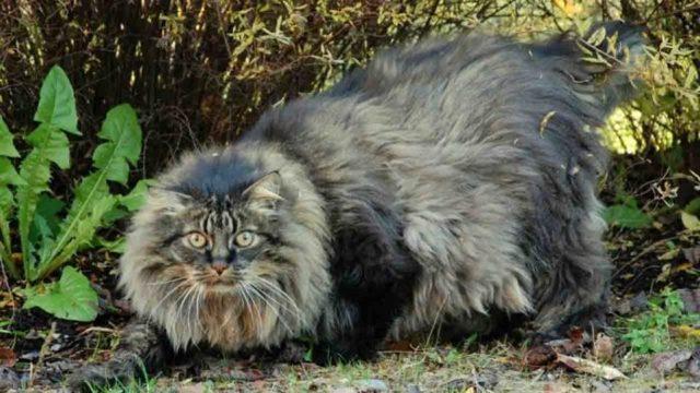 6 пород и 1 дикая кошка с кисточками на ушах: 47 фото и описание