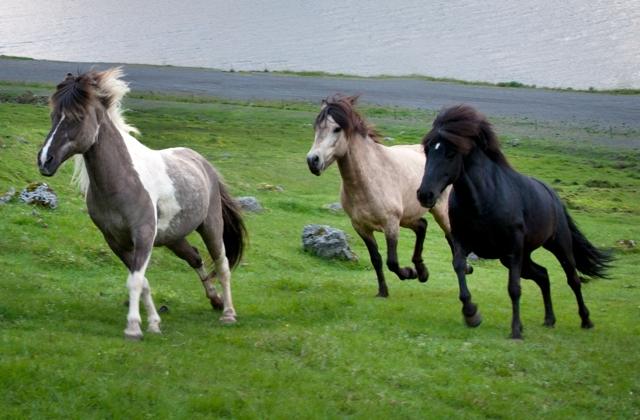 Удивительные лошади Исландии: реальность или сказка