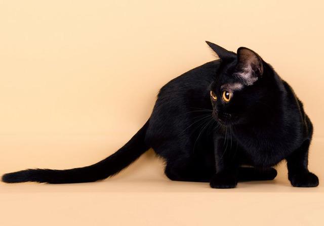 Бомбейская кошка: 28 фото, цена, описание породы и характера