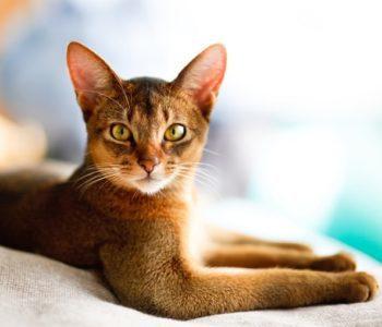 6 пород кошек, которые любят воду, такие и правда есть