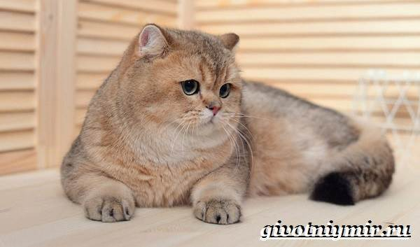 Золотая Шиншилла: 25 фото кошки, цена, британская, шотландская