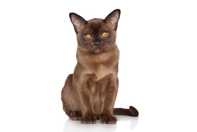 Бурманская кошка: описание породы и характера, 19 фото разных окрасов