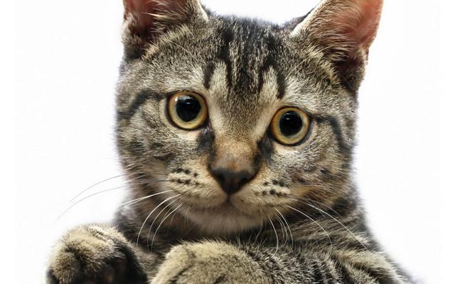 Американская жесткошерстная кошка: описание породы, 14 фото