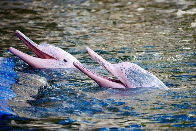 Боуто: дельфин, терроризирующий животных и людей Южной Америки