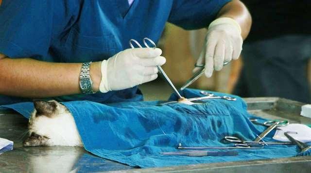 В каком возрасте стерилизуют кошек и когда это лучше делать