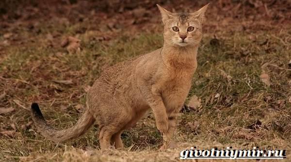 Чаузи или хауси: 50 фото кошки, описание породы, цена