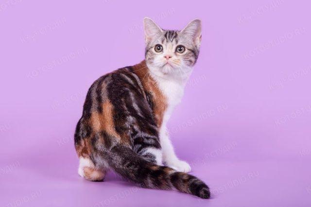 Бывают ли трехцветные коты-мальчики, норма это или нет: таблица
