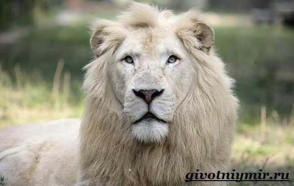 Интересные факты о Львах: описание, образ жизни, фото