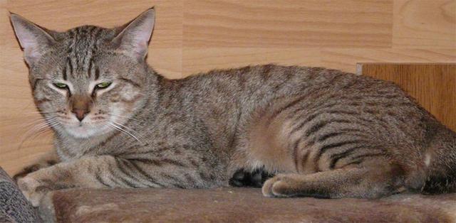14 самых полосатых пород кошек: 40 фото и описание каждой