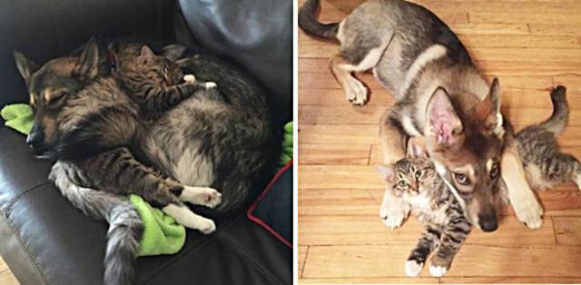 Щенок Хаски выбрал себе в друзья котенка из приюта
