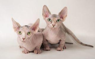 Бамбино: описание породы кошек, много фото, цена, стандарты