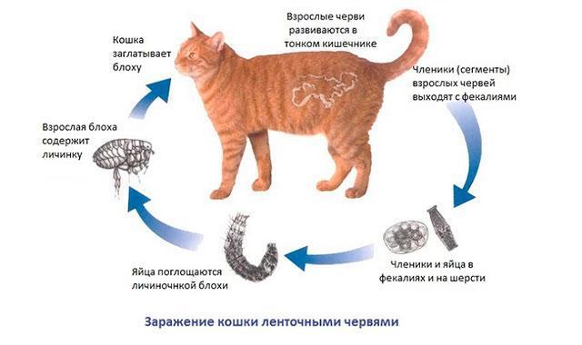 Откуда у домашней кошки блохи и как эффективно избавиться от них