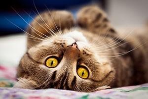 Можно ли проводить стерилизацию кошки во время течки?