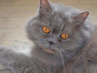 Что нужно знать о характере короткошерстной Британской кошки