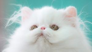 8 интересных фактов о персидских кошках и их истории