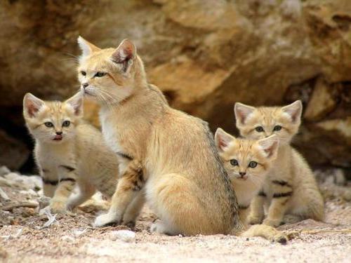 Барханный кот: 20+ фото, описание, содержание в домашних условиях