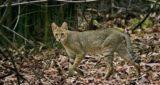 Камышовый или болотный кот Хаус как домашний: 24 фото, цена