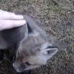Как любопытный зверек был спасен из консервной банки