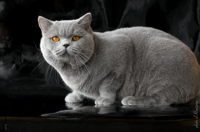 Шикарные британские коты из питомника crystal flame, 20+ фото