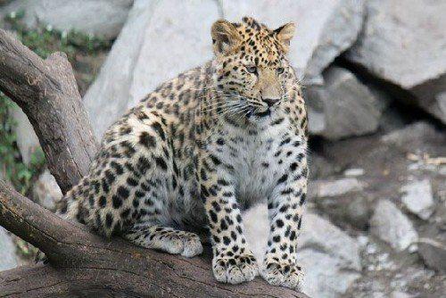 Амурский тигр и леопард сбиты машинами в Приморье