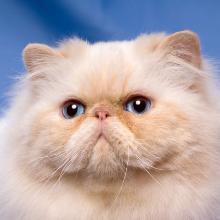 28 самых дорогих кошек в мире: дикие, гибриды, домашние породы