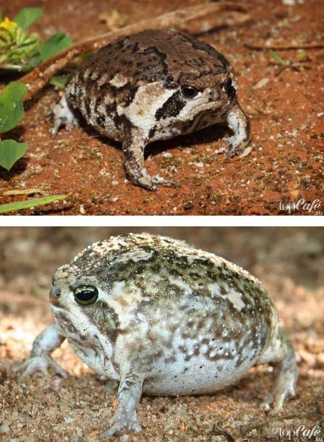 Тигровая индийская лягушка: не покрашена и не фотошоп