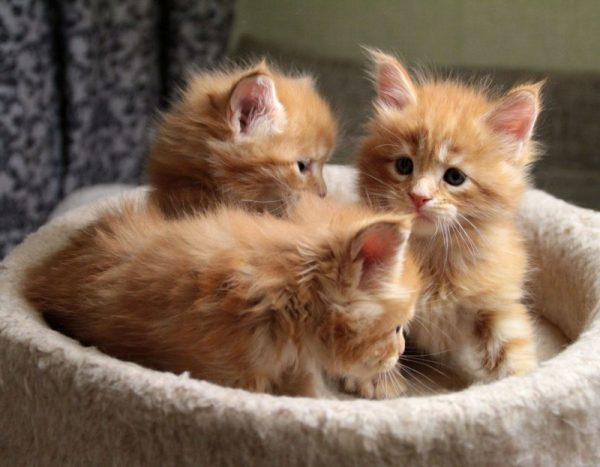 Чем кормить Мейн-куна: котенка в 2, 3, 4 месяца, взрослого, корма