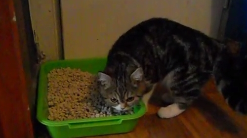 Кошка или кот перестали ходить в лоток: что делать и как приучить