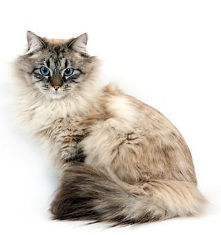 Интересные факты о сибирских кошках, что вы не знали