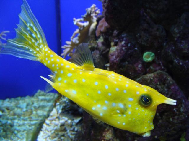 Рогатый кузовок: описание, особенности рыбки инопланетянина
