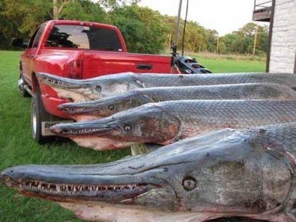 Щука-аллигатор: Сверххищник в 150 кг. Речной демон с Миссисипи