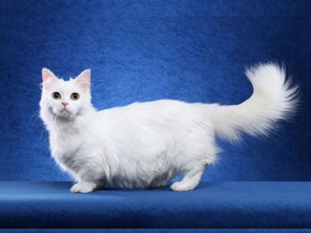 ТОП 19 редких пород кошек: описание, фото и стоимость