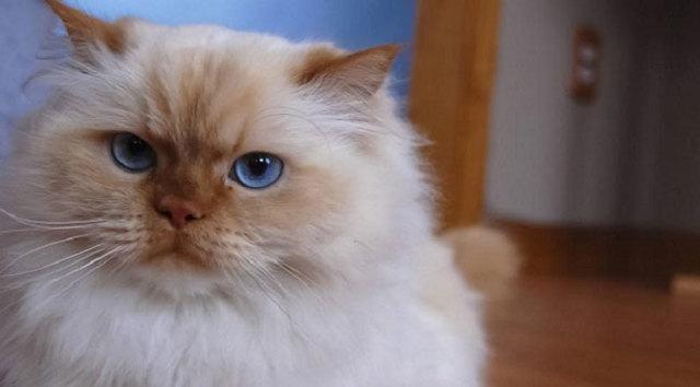 Гималайская кошка: 34 фото + галерея, описание породы и характера