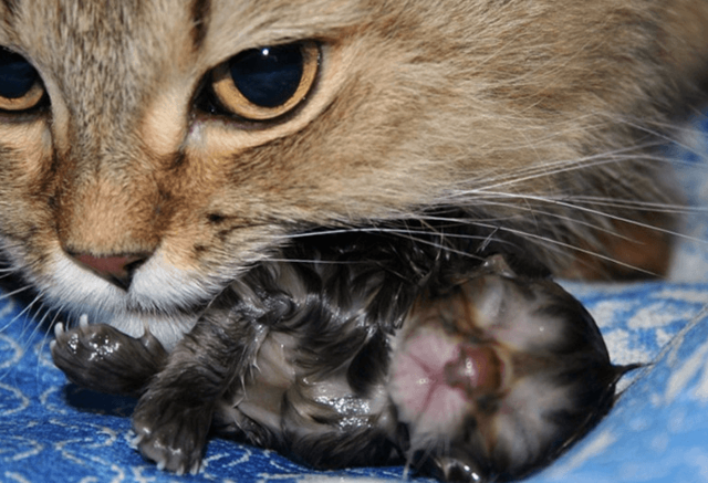 Как рожает кошка в первый раз, сколько по времени это длится