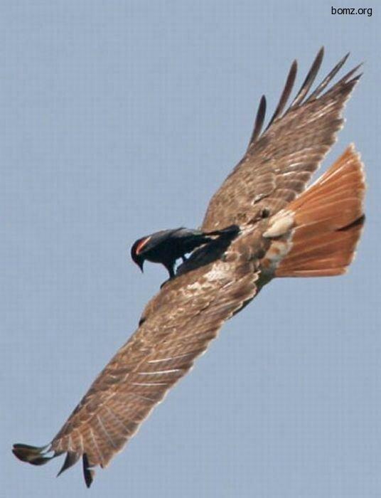 Хищные птицы ходят в туалет через рот, и это правда