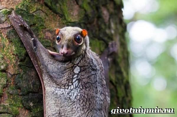 Шерстокрыл - мешочек с глазами, умеющий планировать