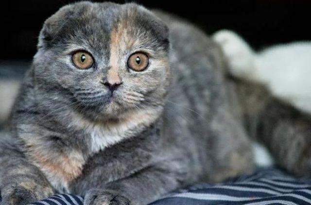 Интересное о Шотландских вислоухих кошках: описание, особенности