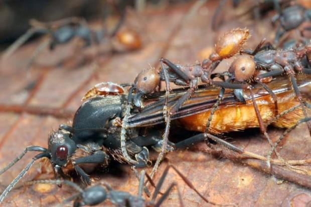 Эцитоны Бурчелли: гигантские муравьи строят живые дома из самих себя