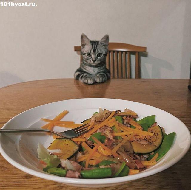 Американская короткошерстная кошка: 29 фото, цена, описание