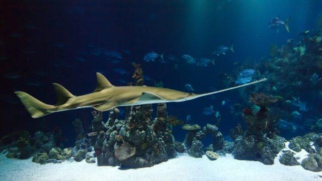 Рыба-пила: шинкует морских обитателей в лучших традициях мясных слэшеров