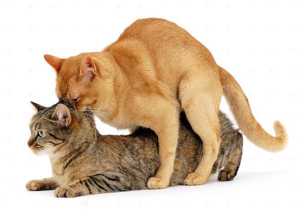Вязка котов и кошек: поведение, сроки, советы новичкам
