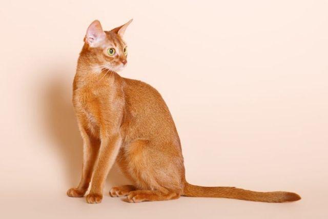 Абиссинская кошка: описание породы, характера, 35 фото и цена