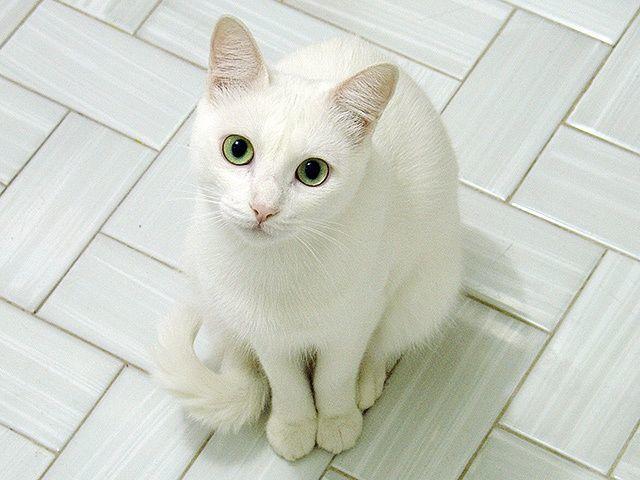 Белые кошки и коты: 20 пород, 31 фото, особенности содержания