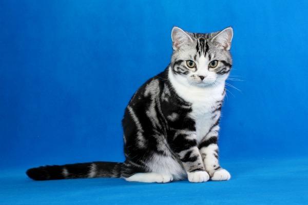 50 короткошерстных пород кошек: 60 фото, названия, описание