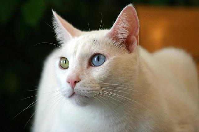Као-Мани: как выглядит порода, 20+ фото, цена котенка в России